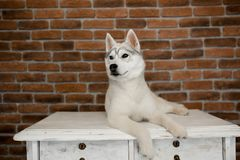 Siberian husky puppy sitting on the furniture. Lifestyle with dog.  stock image