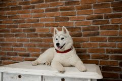 Siberian husky puppy sitting on the furniture. Lifestyle with dog.  royalty free stock photography