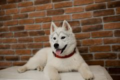 Siberian husky puppy sitting on the furniture. Lifestyle with dog.  stock images