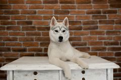 Siberian husky puppy sitting on the furniture. Lifestyle with dog.  stock photography