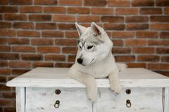 Siberian husky puppy sitting on the furniture. Lifestyle with dog.  royalty free stock image