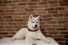 Siberian husky puppy sitting on the furniture. Lifestyle with dog.  stock photos