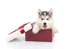 Siberian husky puppy sitting in a gift box Stock Photography