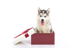 Siberian husky puppy sitting in a gift box. Cute siberian husky puppy sitting in a gift box on white background isolated Royalty Free Stock Image