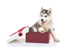 Siberian husky puppy sitting in a gift box Stock Photo