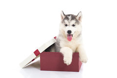 Siberian husky puppy sitting in a gift box Royalty Free Stock Photo