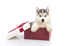 Siberian husky puppy sitting in a gift box. Cute siberian husky puppy sitting in a gift box on white background isolated Stock Photos