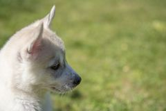 Siberian husky puppy sitting on green grass stock photos