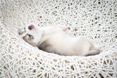 Siberian husky puppy. Sleep on rattan chair Stock Images