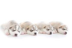 Siberian husky puppy. Sleep on rattan chair Royalty Free Stock Image