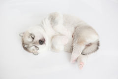 Siberian husky puppy. Sleep on white background stock photography