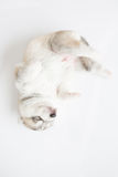 Siberian husky puppy. Sleep on white background stock photos