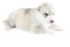 Siberian husky puppy. Sleeping on white background Royalty Free Stock Photo