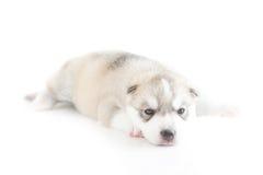 Siberian husky puppy. Sleeping on white background Royalty Free Stock Photos