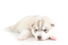 Siberian husky puppy. Sleeping on white background Stock Photography