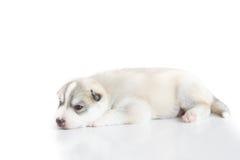 Siberian husky puppy. Sleeping on white background Royalty Free Stock Images