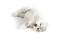 Siberian husky puppy. Sleeping on white background Stock Photos