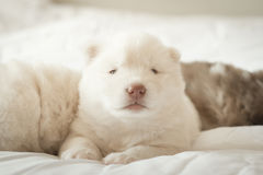 Siberian husky puppy sleeping on white bed Royalty Free Stock Image