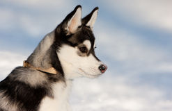 Siberian Husky Puppy in Snow Royalty Free Stock Image