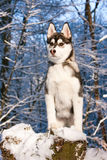 Siberian Husky Puppy in Snow Royalty Free Stock Photography