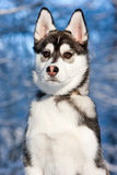Siberian Husky Puppy in Snow Stock Image