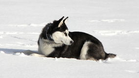 Siberian Husky Puppy on Snow Stock Image