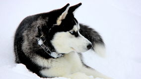 Siberian Husky Puppy on Snow Royalty Free Stock Photo