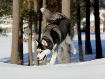 Siberian Husky Puppy on Snow. Stock Photography