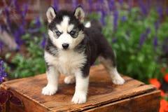 Siberian Husky Puppy Standing na caixa de madeira Fotografia de Stock