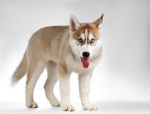 Siberian Husky Puppy Stands and Curious Looking on Stock Image