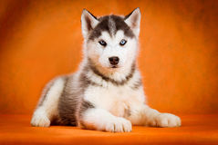 Siberian husky puppy studio shoot Stock Photography