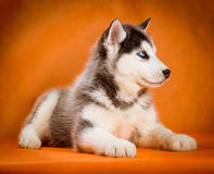 Siberian husky puppy studio shoot Stock Photos