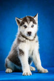Siberian husky puppy studio shoot Royalty Free Stock Image