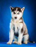 Siberian husky puppy studio shoot Royalty Free Stock Photo
