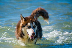 Siberian Husky puppy swimming on the shore sea splashing water Royalty Free Stock Images