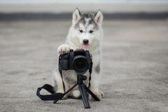 Siberian husky puppy taking a photo stock photos