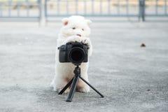 Siberian husky puppy taking a photo. White siberian husky puppy taking a photo Stock Images