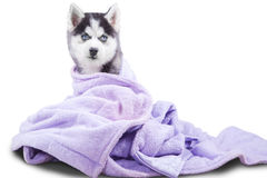 Siberian husky puppy with towel in studio Royalty Free Stock Photos