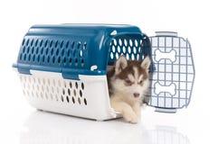 Siberian husky puppy in travel box o. Cute siberian husky puppy in travel box on white background isolated Stock Photos