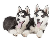 Siberian Husky Puppy. On white background Stock Images