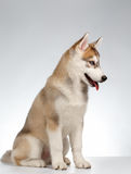 Siberian Husky Puppy on White Stock Photo