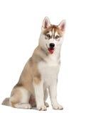Siberian Husky Puppy on White Royalty Free Stock Photography