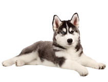 Siberian Husky Puppy on White Stock Image