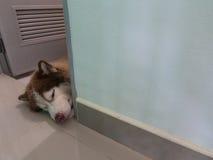 Siberian Husky put his Head Royalty Free Stock Images