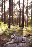 Siberian husky rest Royalty Free Stock Photo