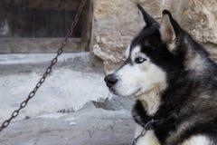 Siberian Husky Stock Image