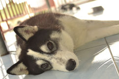 Siberian Husky. Resting Siberian Husky Dog with a beautiful look. Amidst the hot weather condition this dog survives Royalty Free Stock Images