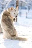 Siberian Husky riding dog Royalty Free Stock Images