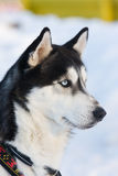 Siberian Husky riding dog Royalty Free Stock Image