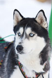 Siberian Husky riding dog Royalty Free Stock Images